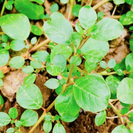 Health Benefits Of Spreading Hogweed Or Punarnava