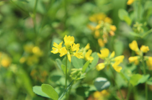 Chaparral: A Great Native American Herb